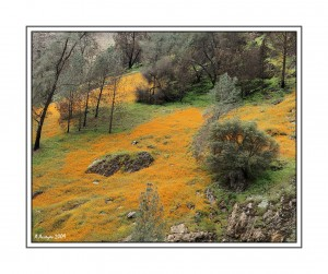 Poppies along Merced River Canyon